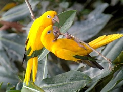 42628-beautiful-birds-beautiful-yellow-birds
